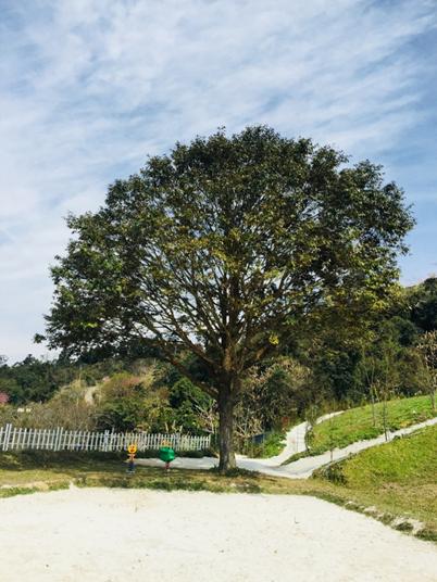 吉祥樹-黃金樹